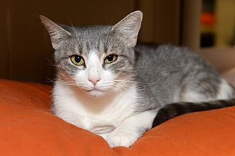 Domestic Shorthair Cat for adoption in Whitehall, Pennsylvania - Miley