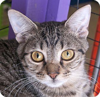 Domestic Shorthair Kitten for adoption in Chicago, Illinois - Monty