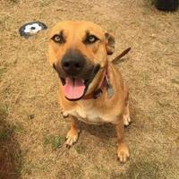 Shepherd (Unknown Type) Mix Dog for adoption in justin, Texas - Sienna