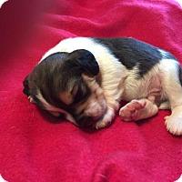 Adopt A Pet :: Rowen - Orleans, VT