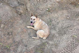 Australian Cattle Dog/Australian Cattle Dog Mix Dog for adoption in Fresno, California - Timida