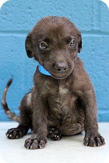 Labrador Retriever/Basset Hound Mix Puppy for adoption in Waldorf, Maryland - Greg