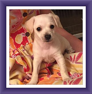 Bichon Frise/Chihuahua Mix Puppy for adoption in Tulsa, Oklahoma - Adopted!! Louie - NV