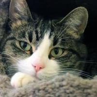 Domestic Shorthair/Domestic Shorthair Mix Cat for adoption in Sheridan, Wyoming - Danica
