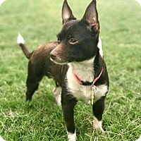 Adopt A Pet :: Aria - Dallas, TX
