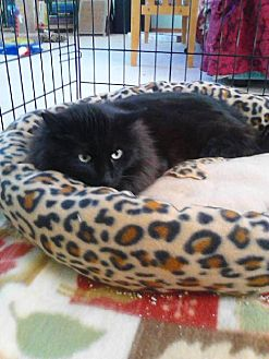 Domestic Mediumhair Cat for adoption in Battle Ground, Washington - Shilo