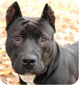 American Staffordshire Terrier Dog for adoption in Chicago, Illinois - Mia
