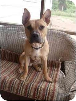 French Bulldog/Boxer Mix Dog for adoption in Arlington, Virginia - Chance