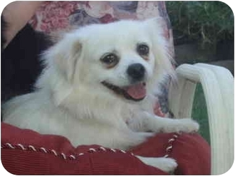 Terrier (Unknown Type, Small)/Pekingese Mix Dog for adoption in Sacramento, California - Sassy