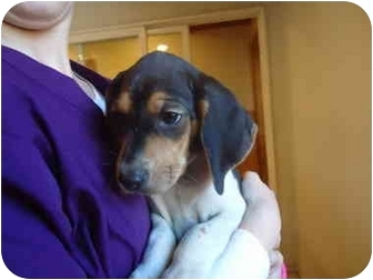 Treeing Walker Coonhound Mix Puppy for adoption in Broadway, New Jersey - Ruger