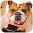 Photo 2 - English Bulldog Dog for adoption in Park Ridge, Illinois - Winnie