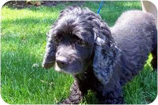 Cocker Spaniel Dog for adoption in Oak Ridge, New Jersey - Niagara