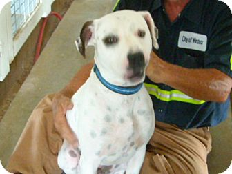 Boxer/Dalmatian Mix Dog for adoption in Windsor, Missouri - Hope