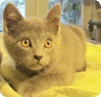 Domestic Shorthair Kitten for adoption in Seminole, Florida - Cupid