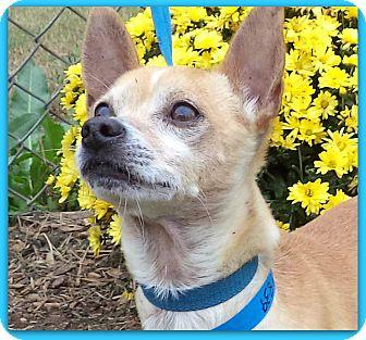 Chihuahua Mix Dog for adoption in Marietta, Georgia - CRENSHAW (R)