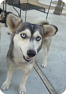 Siberian Husky Mix Dog for adoption in Apple valley, California - Kleo