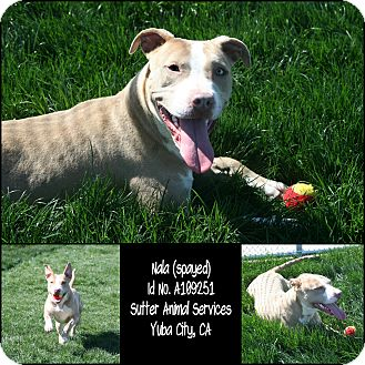 American Pit Bull Terrier Mix Dog for adoption in Yuba City, California - 02/21 Nala