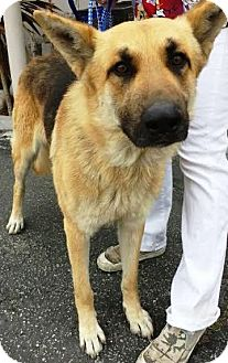 German Shepherd Dog Dog for adoption in Snohomish, Washington - Chopin A sweet and loving boy