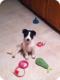 Collie Mix Puppy for adoption in Orland Park, Illinois - Scooter