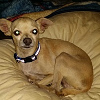 Chihuahua Mix Dog for adoption in Madera, California - Yodsanklai