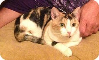 Domestic Shorthair Cat for adoption in Charlotte, North Carolina - A..  Tiara