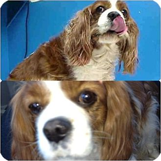 Cavalier King Charles Spaniel Dog for adoption in Flushing, New York - Bella