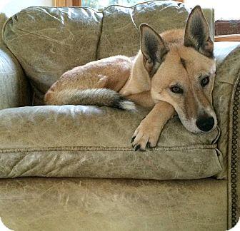 Siberian Husky/Shepherd (Unknown Type) Mix Dog for adoption in Sacramento, California - Edie URGENT