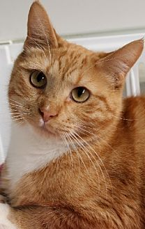 Domestic Shorthair Cat for adoption in Savannah, Missouri - Blaine