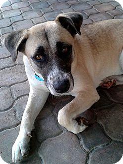 Labrador Retriever/German Shepherd Dog Mix Dog for adoption in Ft Myers Beach, Florida - Love me Too!!!