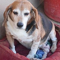 Beagle Dog for adoption in Apple Valley, California - Chubbs-Miracle Boy!
