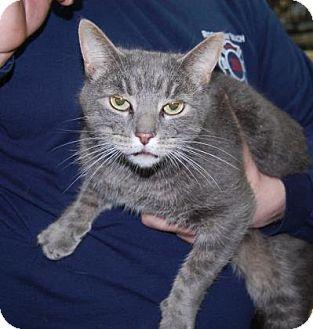 Domestic Shorthair Cat for adoption in Brooklyn, New York - Juggernaut