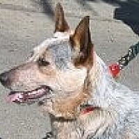 Australian Cattle Dog Dog for adoption in Pt. Richmond, California - HOLLY