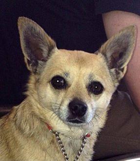 Chihuahua Mix Dog for adoption in Fullerton, California - Gina
