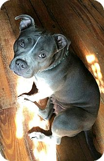 Pit Bull Terrier Mix Dog for adoption in Dumfries, Virginia - Stormi