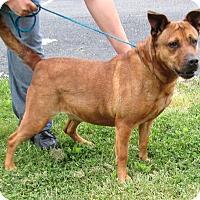 Hound (Unknown Type)/Terrier (Unknown Type, Medium) Mix Dog for adoption in Reeds Spring, Missouri - Connie