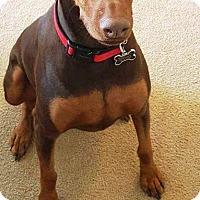 Adopt A Pet :: Cayenne - Fort Worth, TX