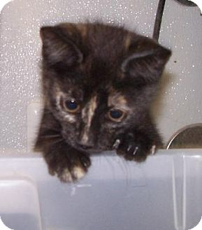 Domestic Shorthair Kitten for adoption in Island Heights, New Jersey - Ariel