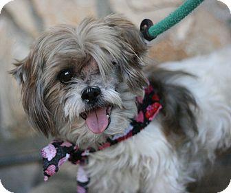 Shih Tzu Mix Dog for adoption in Canoga Park, California - Shane