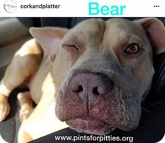 Pit Bull Terrier/Dachshund Mix Dog for adoption in Brighton, Colorado - Bear