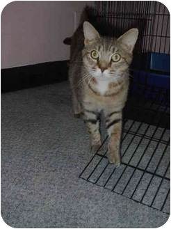 Domestic Shorthair Cat for adoption in Jeffersonville, Indiana - Ringo