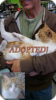 Domestic Shorthair Cat for adoption in Rosamond, California - Sinclair