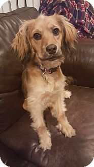 Spaniel (Unknown Type) Mix Puppy for adoption in Smithtown, New York - Maya