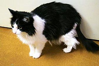 Domestic Longhair Cat for adoption in Tempe, Arizona - Elizabeth