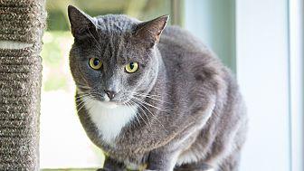 Domestic Shorthair Cat for adoption in Idyllwild, California - Mr Gray