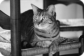 Domestic Shorthair Cat for adoption in Lakeland, Florida - Tom Tom