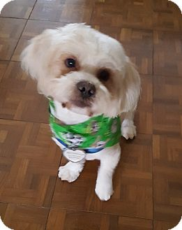 Lhasa Apso Mix Dog for adoption in Houston, Texas - Willie Nelson