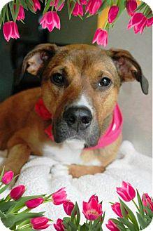 Labrador Retriever/German Shepherd Dog Mix Dog for adoption in Tipp City, Ohio - Layla - Adoption Pending