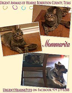 Domestic Longhair Cat for adoption in Hearne, Texas - Mommarita