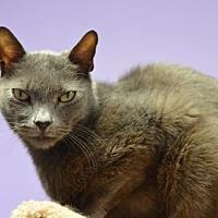 Domestic Shorthair Cat for adoption in Atlanta, Georgia - Smokey Joe170469