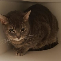 Domestic Shorthair/Domestic Shorthair Mix Cat for adoption in Mesquite, Texas - Milo